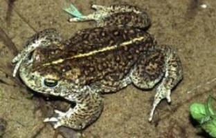 Kirksanton Natterjack 02 - toad paul edgar